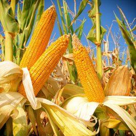 Corn field, close up