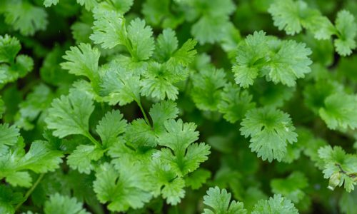 Coriander plant in vegetables garden for health, food and agriculture concept design.
